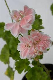 pelargonit - Google-haku