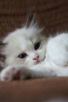 Are you looking to find Ragdoll Kittens for sale? We have some tips and advice to help you find these cats for sale from a trusted breeder in your area Ragdoll Kittens For Sale, Kitten For Sale, Kittens And Puppies, Baby Kittens, Kittens Cutest, Cute Puppies, Cute Dogs, Ragdoll Cats, Cute Little Kittens