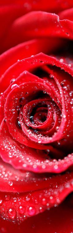 Rosa vermelha, de pétala molhada, seu aroma e cor com um cheiro  devido, fragrância de amor.   Hoje estás marcada, és a flor do amor ilustre na terra, que lindo botão  floresce  nos olhos  e no coração,  fluido do amor de eterna paixão.  Rosa na orelha e no peito  da mulher sem jeito... que linda ficou!  Pétala de veludo em vela iluminada, gota de água derramada,  no banho o bálsamo  de um louco amor.  Rosa seca e bela  sempre volta a terra, lágrima eternizada por quem tanto...  amou!