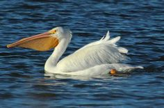 American White Pelican – Winter at White Rock – DFW Urban Wildlife Bird Watching, Wildlife, Street, Rock, Animals, Texas, Birds, Urban, American