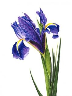 Spring Iris, realistic watercolor by Anna Mason Iris Flowers, Botanical Flowers, Botanical Prints, Decoupage, Watercolor Flowers, Watercolor Paintings, Flower Paintings, Watercolour, February Birth Flowers