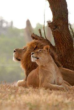 ライオン 獅子 Lion Delightfully – Amazing Pictures - Amazing Travel Pictures with Maps for All Around the World Couple Lion, Beautiful Cats, Animals Beautiful, Beautiful Couple, Animals And Pets, Cute Animals, Wild Animals, Animals Planet, Nature Animals