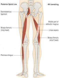 NeuroKinetic Therapy -The biceps femoris is such an important muscle because it helps connect the lower and upper bodies. Starting at the tibiofibular junction which gets jammed posteriorly when the biceps femoris is overworking and can cause sacroiliac Muscle Anatomy, Body Anatomy, Human Anatomy, Peroneus Longus, Psoas Release, Psoas Muscle, Muscle Body, Sciatic Nerve, Sciatica
