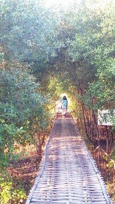 Mangrove at Karangsong-Indramayu-West Java-Indonesia