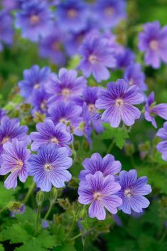 Here's what we found about purple flowers. Read up the info about purple flowers, and learn more about it! Hardy Geranium, Geranium Flower, Perennial Geranium, Cranesbill Geranium, Wild Geranium, Purple Flowers, Wild Flowers, Beautiful Flowers, Flowers Perennials