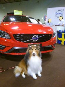 Sheltie at the car show