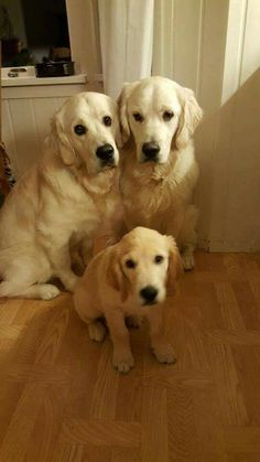 Golden Retrievers ~ Classic Look & Trim Cute Puppies, Cute Dogs, Dogs And Puppies, Doggies, Love Pet, I Love Dogs, Animals And Pets, Cute Animals, Amor Animal