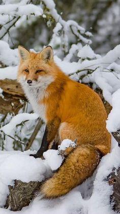 Fox Squirrel, Pet Fox, Cute Little Animals, Cute Funny Animals, Animals And Pets, Baby Animals, Animals In Snow, Fox In Snow, Fox Images