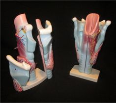 Budget Giant 3-Part Larynx Model