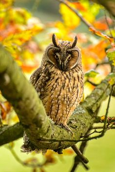 i like how this long eared owl blends in with all the autumn colours of the leaves