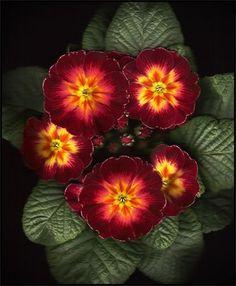 Polyanthus Primrose - Rainbow Scarlet Shades A hardy winter flower, great spaces. I love primroses. Winter Flowers, All Flowers, Amazing Flowers, Colorful Flowers, Beautiful Flowers, Orange Flowers, Fleur Orange, Primroses, Trees To Plant