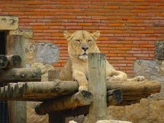 DIVAGAR SOBRE TUDO UM POUCO: No reino dos Leões.