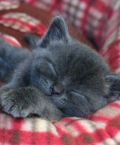 Sweetest grey kitten taking a cat nap. Description from pinterest.com. I searched for this on bing.com/images