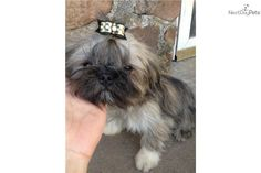 You'll love this Male Shih Tzu puppy looking for a new home.