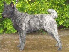 Hollandse herder - Wikipedia. Roughhair