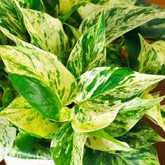 Pothos (Epipremnum aureum) is one of the most common houseplants around. This quick-growing vine features colorful leaves, tolerates low light, and doesn't mind drying out a bit. Its stems reach 8 feet or more. Pothos grows in low to bright light.