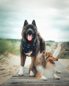 Our Akita's best friend was a sheltie. He still looks around the house for him. Asian Dogs, Japanese Akita, American Akita, Akita Dog, English Mastiff, Shiba Inu, Dog Owners, Pet Birds, Animals And Pets