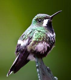 Hummingbird. Costa Rica.