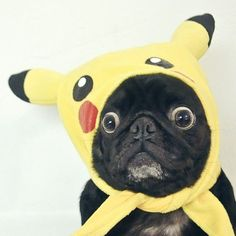 mozthepug:  ….there's something on my head, isn't there?