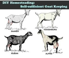 DIY Homesteading: Self-sufficient Goat Keeping Read HERE --- http://www.livinggreenandfrugally.com/diy-homesteading-self-sufficient-goat-keeping/