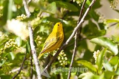 Male Yellow Warbler mostly yellow with breast stripes and a black eye.