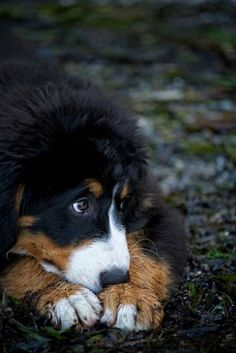 I love Bernese Mountain dogs! Animals And Pets, Baby Animals, Funny Animals, Cute Animals, Cute Puppies, Cute Dogs, Dogs And Puppies, Doggies, Big Dogs
