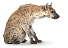 andrewzuckerman-animal-hyena-sit Curious Creatures, Wild Creatures, Animal Sketches, Animal Drawings, Brown Hyena, Maned Wolf, African Wild Dog, Wild Dogs, Cute Animal Pictures