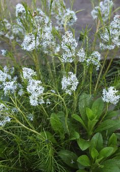 Amsonia (Blue Star)