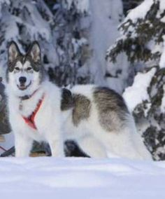 Native American Indian Dogs from cimarronfrontier.com