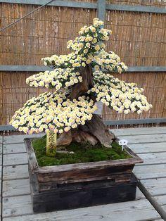 Bonsai 306 Bonsai Ficus, Indoor Bonsai, Bonsai Plants, Bonsai Garden, Garden Trees, Bonsai Trees, Juniper Bonsai, Ikebana, Bonsai Tree Types