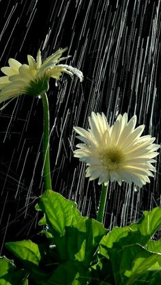 On rainy days, can you hear the flowers smiling?