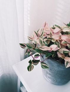 Yes, They're Real: 7 Stunning House Plants That Are Actually Pink || Wandering Jew (Tradescantia Tricolor)