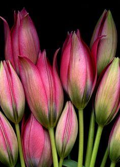 n-o-v-s: araknesharem : 55206,3 Tulipa 'Little Beauty' en art horticole sur Flickr.
