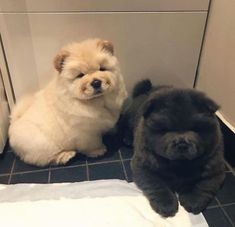 Dog Breeds Little .Dog Breeds Little Fluffy Dogs, Fluffy Animals, Animals And Pets, Cute Fluffy Puppies, Cute Dogs And Puppies, Baby Dogs, Doggies, Samoyed Puppies, Tiny Puppies