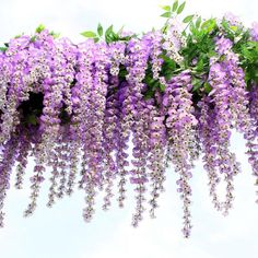 Houda Artificial Wisteria Vine Ratta Hanging Garland Silk Flowers for Party Home Wedding (Purple): Artificial Fake Wisteria Vine Ratta Hanging Garland Silk Flowers String Home Party Wedding Decor Orchid Arrangements, Artificial Flower Arrangements, Artificial Silk Flowers, Floral Arrangement, Artificial Plants, Cherry Blossom Flowers, All Flowers, Fabric Flowers, Purple Home Decor