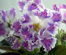 PT-Junaja Pastushka~African Violet~Plant~ New Russian Variety