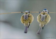 Blue Tit, Birds hanging from a branch. Pretty Birds, Love Birds, Beautiful Birds, Birds Pics, Funny Birds, Funny Animals, Cute Animals, Photos Originales, Blue Tit
