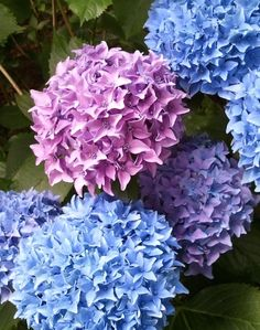 Note to self: Hydrangea for the side by the shop?