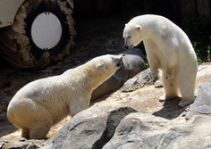 """""""The only way at this time to save [the polar] bears is to have people change their habits, and the way to do that is through zoos and aquariums,"""" said Robert Buchanan, president of Polar Bears International. """"Polar bears are just ambassadors for their friends in the Arctic."""""""