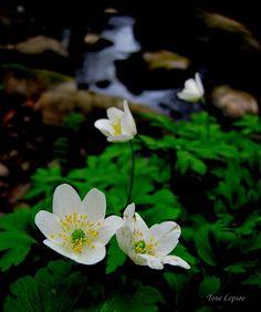 White wild flowers, Norway, by Tone Lepsøe