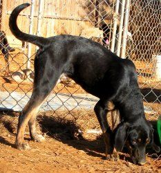 Beauty is an adoptable Black And Tan Coonhound Dog in Charlotte, NC. 08-15-11 Beauty is a lucky girl that was found as a stray in the Lake Norman Area. The kind woman that found her kept her at her ho...