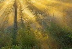 Golden Mist - Sunrise light streams through an early morning fog with a golden hue.