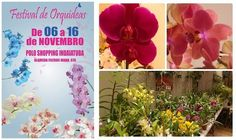 SOCIAIS CULTURAIS E ETC.  BOANERGES GONÇALVES: II Festival de Orquídeas vai só até domingo (16/11...