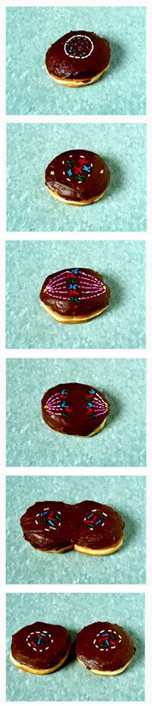 Donut mitosis. Best thing ever.
