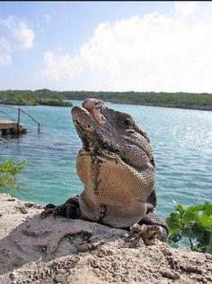 Cuenta una leyenda Maya que los Dioses eligieron a la #Iguana como guardián de la tierra. Debe caminar entre los arbustos cuidando que nada dañe a la tierra para que siga dando frutos a los habitantes.