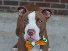 Pet Adoption has dogs, puppies, cats, and kittens for adoption. Adopt a pet Bull Terrier Mix, Pitbull Terrier, Animal Shelter, Animal Rescue, Shelter Dogs, Brooklyn Center, American Pit, Pet Life, Lost & Found