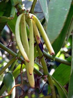 Coffee Break:How To Grow Your Own Vanilla Beans - Coffee Break Growing Gardens, Growing Herbs, Grow Vanilla Beans, Cash Crop, Bean Plant, Bean Seeds, Beautiful Fruits, Infused Oils, Container Gardening