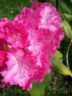 Rododendro