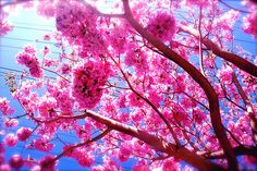 Beautiful Pink Tree by Jessica New Pretty In Pink, Pink Flowers, Beautiful Flowers, Beautiful Pictures, Beautiful Places, Pink Trees, Flowering Trees, Blooming Trees, Everything Pink