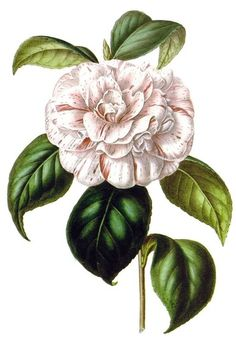 Camellia japonica Grande duchessa d'Etruria.  From Flore des Serres et des Jardins de l'Europe (Flowers of the Greenhouses and Gardens of Europe) vol. 2, by Charles Lemaire, Michael Scheidweiler, and Louis van Houtte, Ghent, 1846